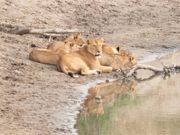 Stray lions kill four people in Narok