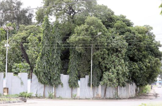 Sun, sand and shade: Mombasa now goes green