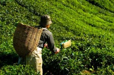 Tea output to increase by 13pc despite strikes