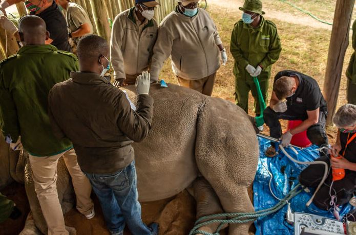 Third eggs harvesting from rare rhinos carried out