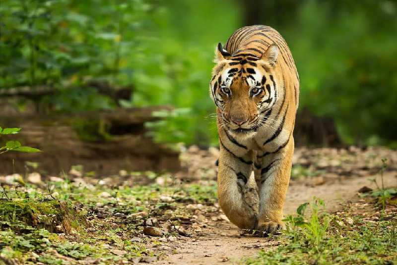 India to use Calvin Klein Cologne to lure Avni, the man-eating tigress