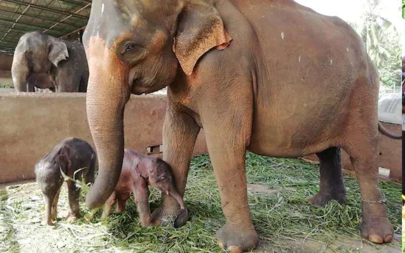 Twin elephants born in Sri Lanka in rare occurrence
