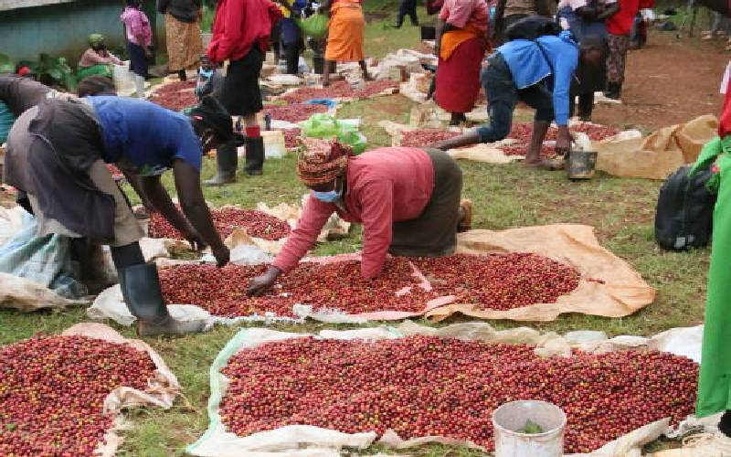 Windfall as farmers get superior quality coffee