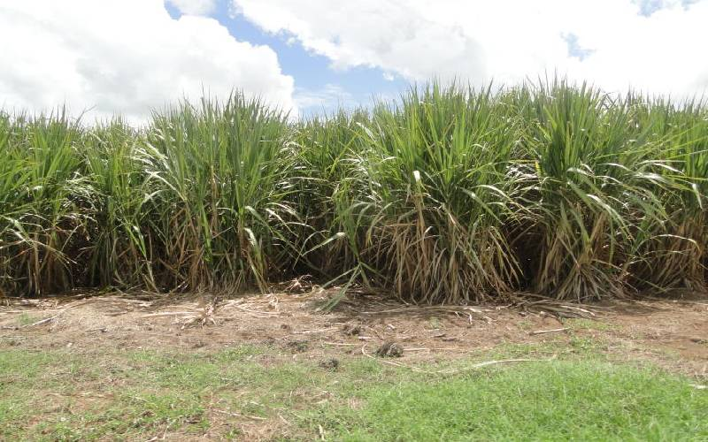 Cane miller's efforts to block rival from setting up sugar factory fails
