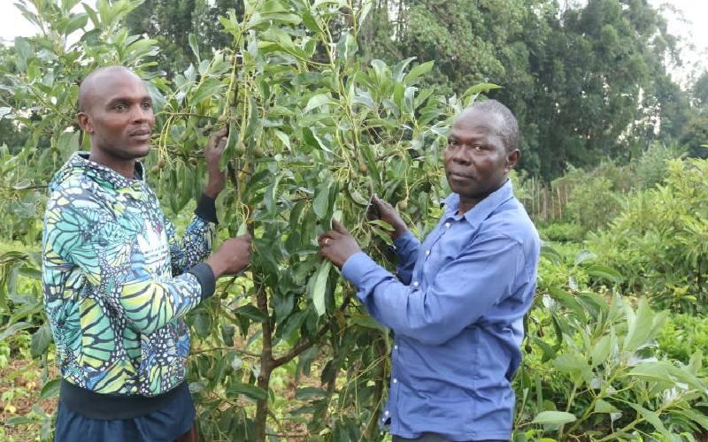 Farmer ditches tea for avocados