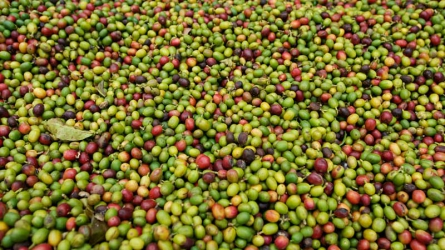 Farmers want government to reduce exportation of unprocessed coffee