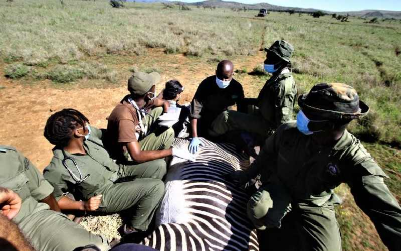 Herd of endangered Zebras translocated
