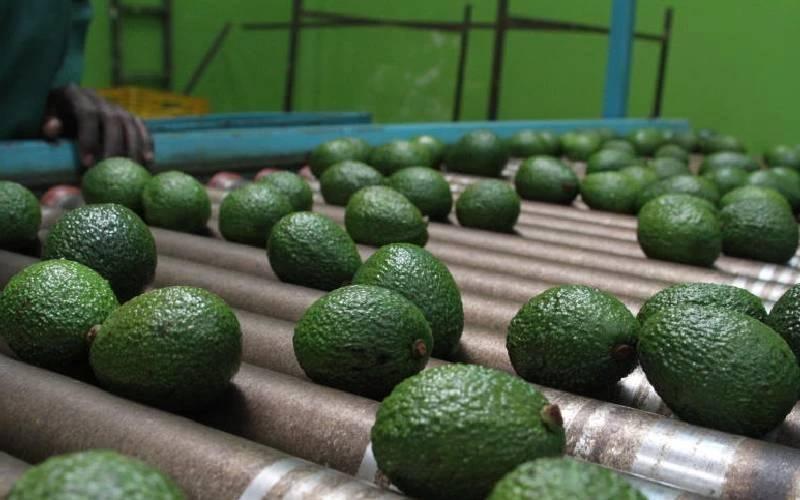 Kakuzi to invest Sh400m to boost smallholder avocado farmers