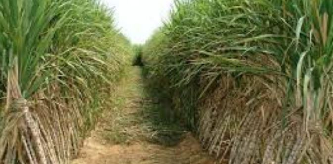 New technology promises steady supply of raw materials to western sugar firms