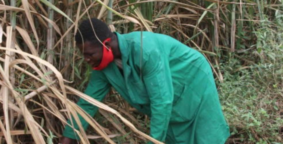 No sweet reprieve for bitter Migori cane farmers