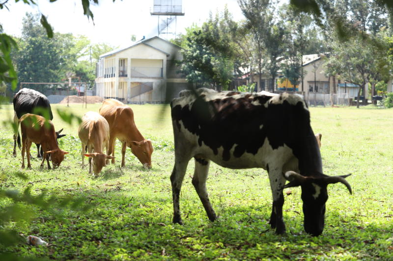 Animals graze at Joel Omino Secondary School in Kisumu Central on September 21,2020. Despite the order by the government that teachers report to school, a number of schools have not prepared for the r
