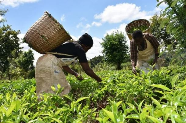 Put cash in our pockets, tea farmers cry
