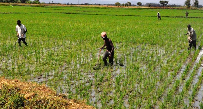 How to yield big from rice farming - FarmKanya Initiative