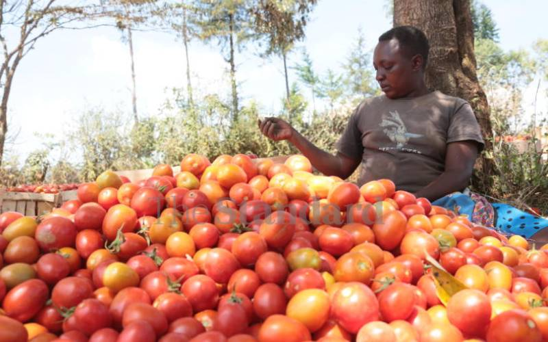 Secrets for bumper tomato harvest