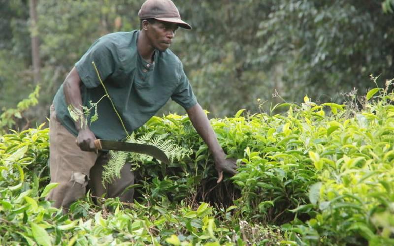 Sh20b to be split by growers as tea farmers stare at low bonus