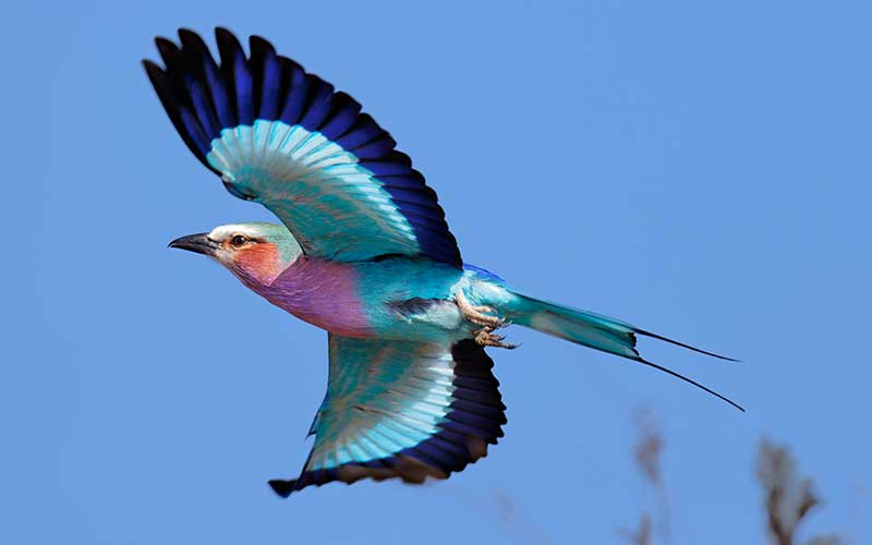 Lilac Breasted Roller-Kenya's national bird