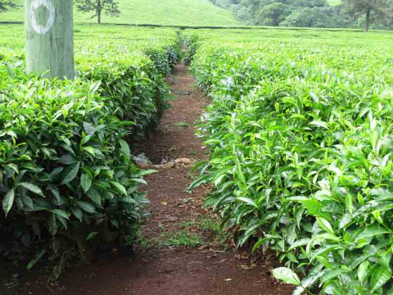 Team proposes radical reforms to cushion tea farmers from price shocks
