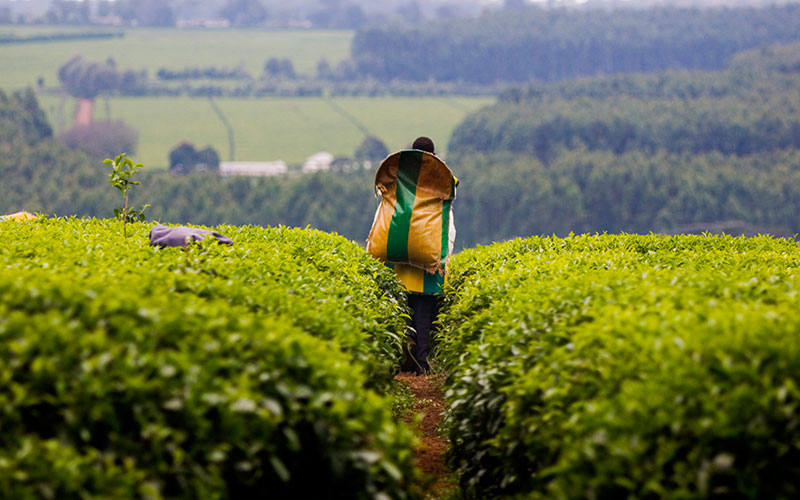 Kericho boasts more than its tea plantations