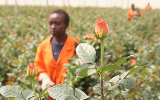Naivasha flower farms resume operations after Covid-19 setback