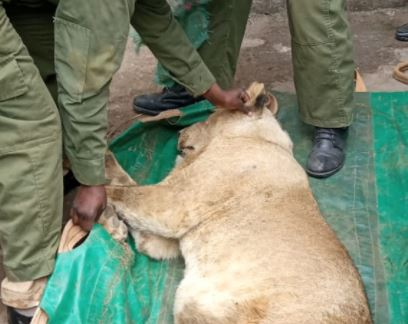 Stray lion stuck between wall in Ongata Rongai rescued