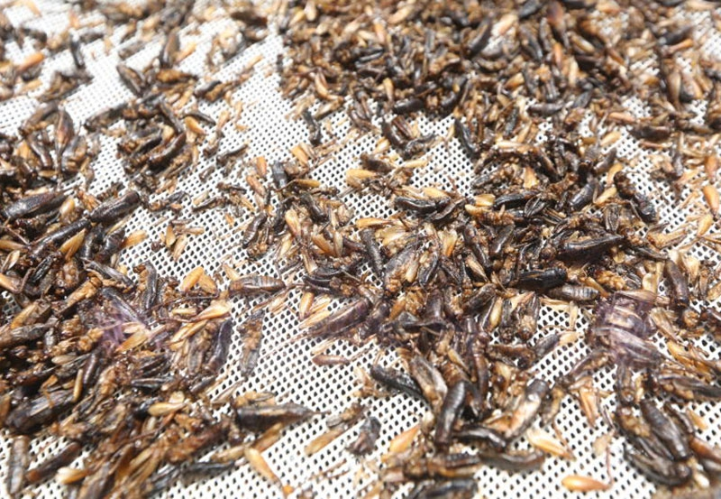 Fancy crickets? New edible species soon to be served