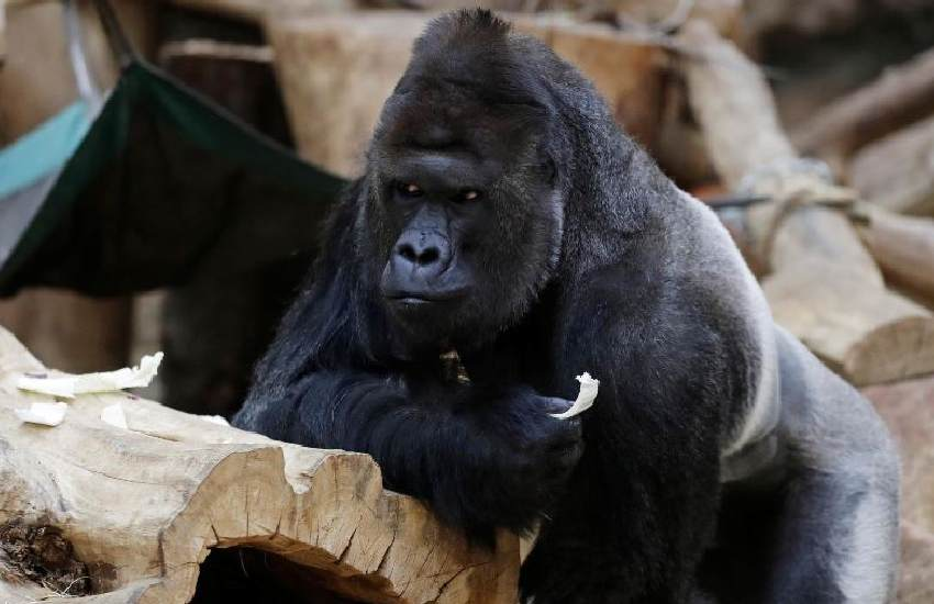 Gorilla, two lions test positive for Covid-19 at zoo