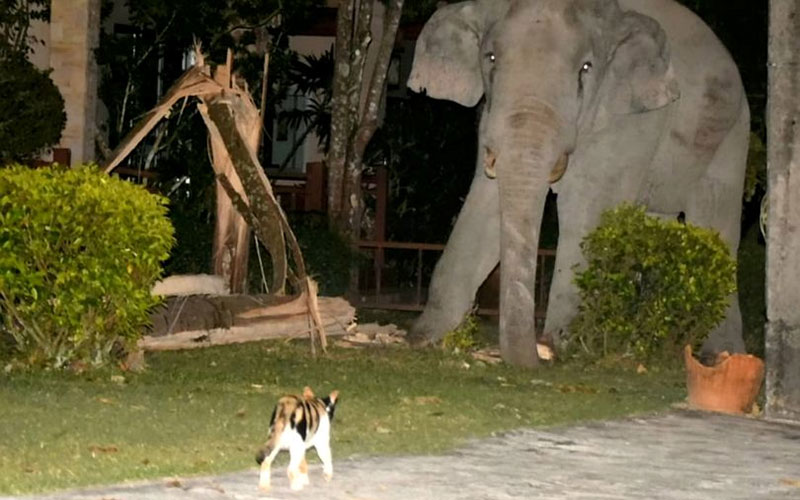 Pet cat named Simba scares away elephant