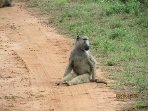 Baboons in Kwale