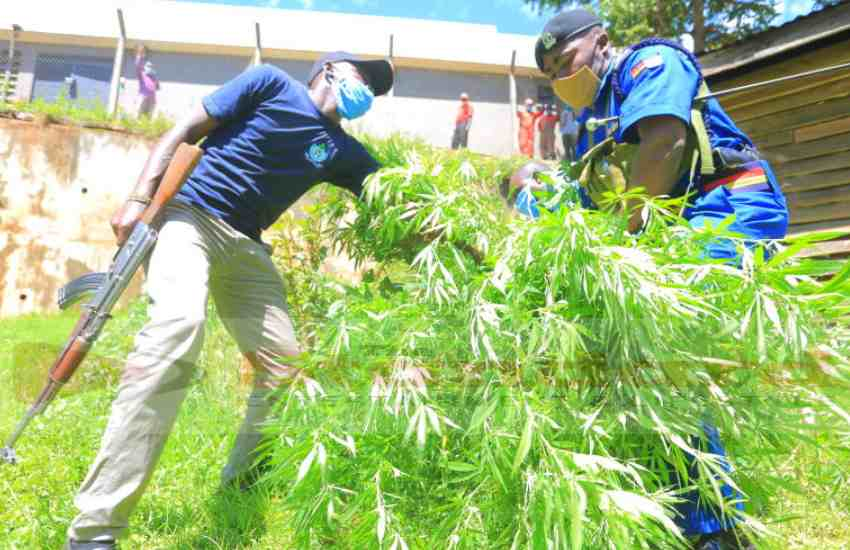 Bhang found intercropped with kales, teacher being sought