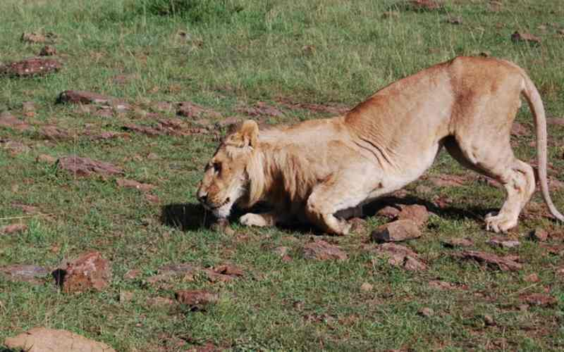 Three lions die after falling in poachers' traps