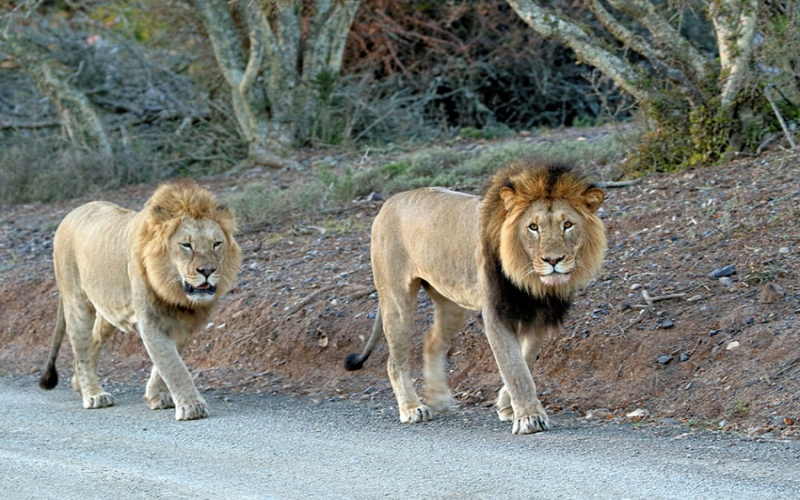 15 lions escape Solio conservancy through holes dug by warthogs