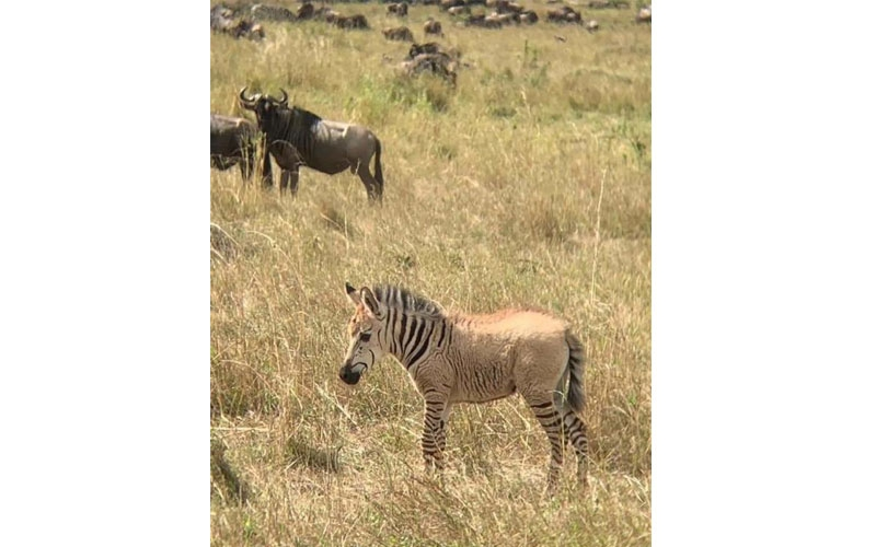 Excitement as albino zebra is spotted in Masai Mara