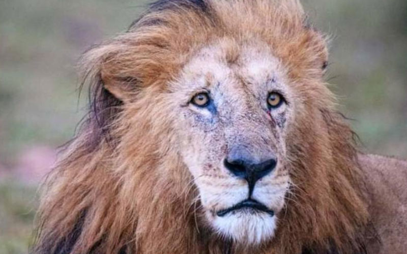 Tributes for Maasai Mara's oldest lion, Olorpapit
