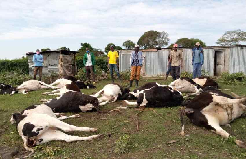 24 dairy cows dead: MP to sue firm over killer animal feed