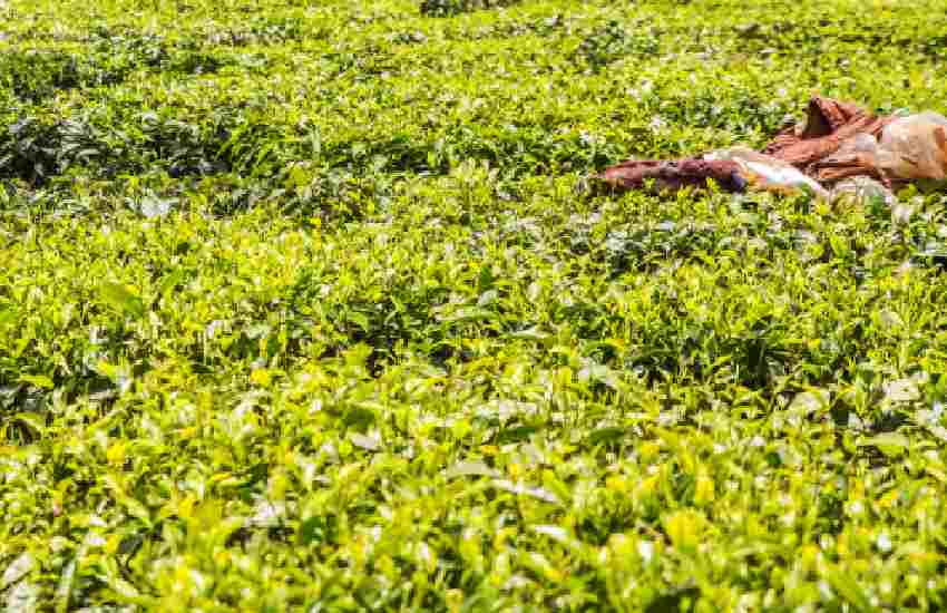 Kiambu residents turn tea plantations into brothels, beer dens