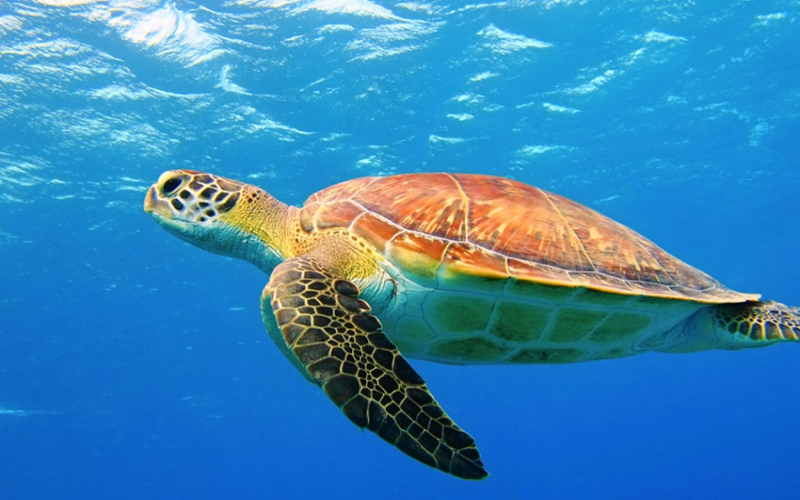 Locals up in arms, blame their low libido on turtle meat ban