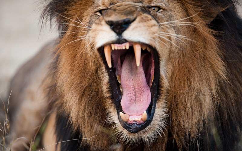 Stray lion kills primary school pupil in Taita-Taveta