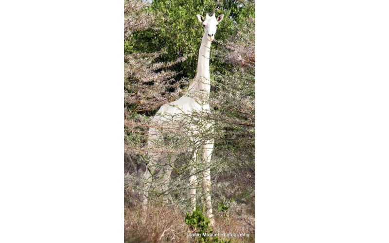 Unusual white giraffe delivers calf