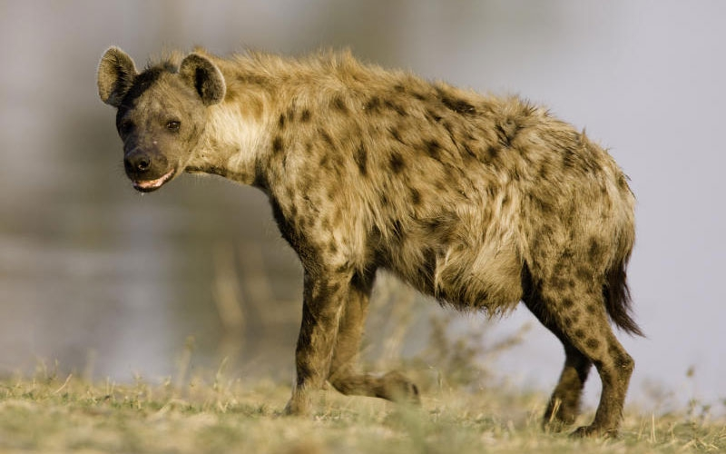 Village in agony as hyena mauls boy to death, injures rescuers