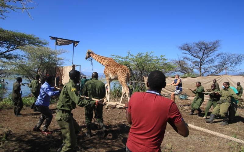 Inside delicate Baringo giraffe translocation