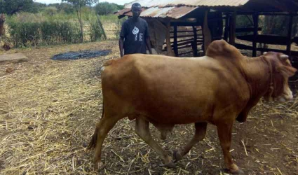 Uhuru can come for it: Man's resolve after being stopped from delivering huge bull