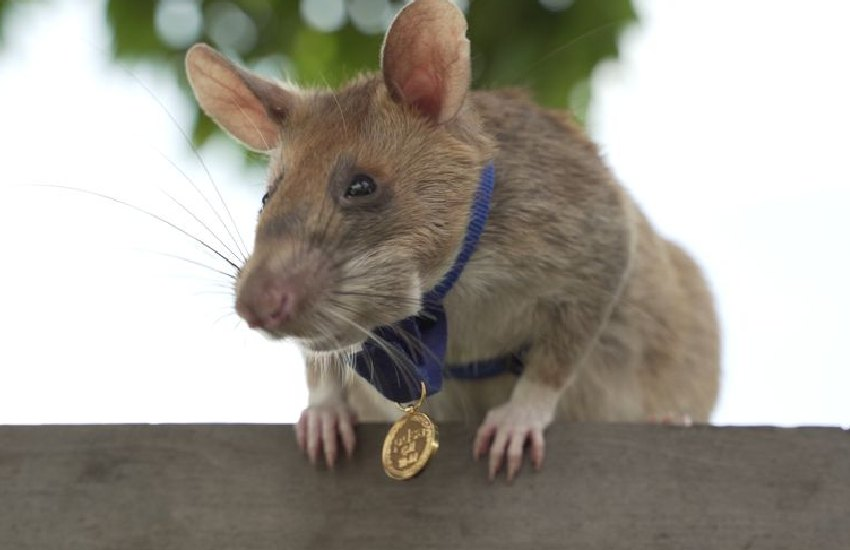 African giant pouched rat wins the world's highest bravery award