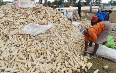 Be careful, that tasty maize could be lethal