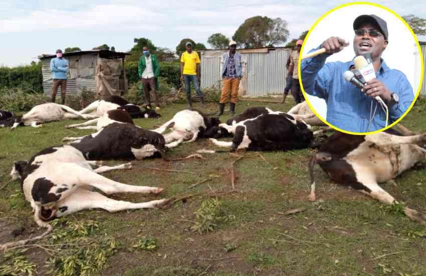 Emurua-Dikir MP counts huge losses after 24 pedigree cows drop dead