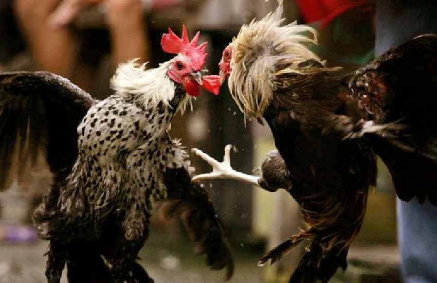 Rooster fitted with knife kills owner during cockfight