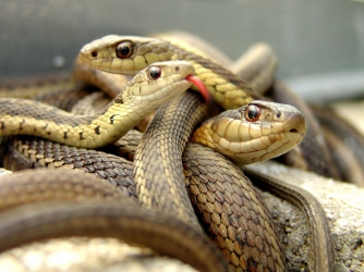 Ugandan witchdoctors' obsession with snakes