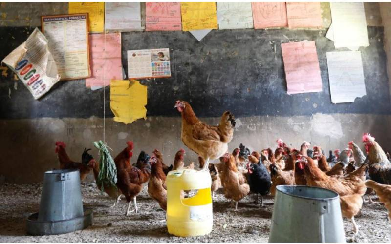 Chickens roost in Kenya's empty classrooms amid COVID-19 shutdown