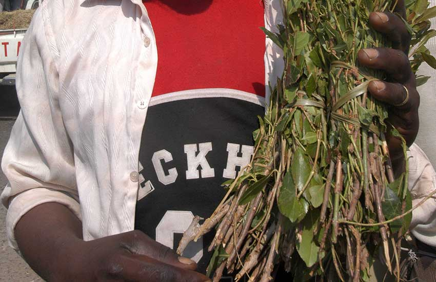 County bans transportation, sale of miraa over coronavirus