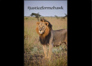 #JusticeForMohawk: Kenyans react to the killing of iconic lion by KWS