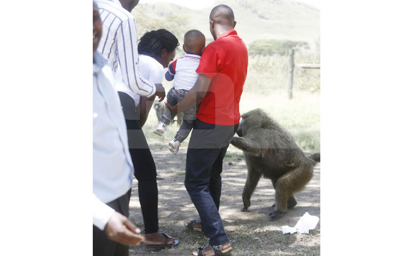 Kakamega: Fear grips village as rogue baboons attempt to steal baby